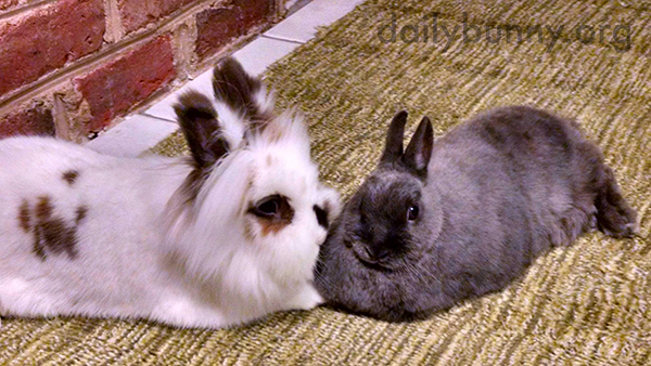 Bunnies Fluff Up and Relax Together