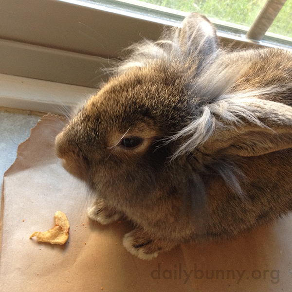 Bunny Pauses Before Nibbling More on that Dried Apple Slice