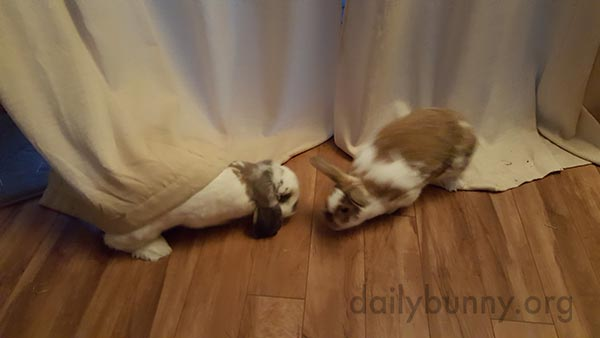 Bunnies Play Hide and Seek in the Curtains 3