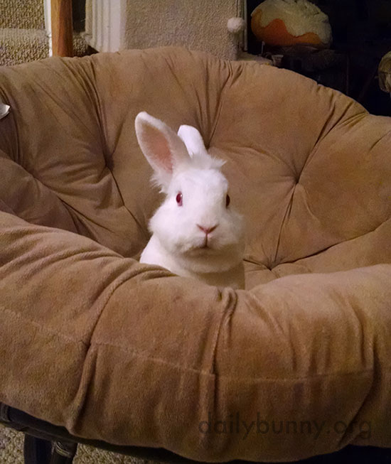 Little Bunny Has Claimed the Big Soft Chair 1