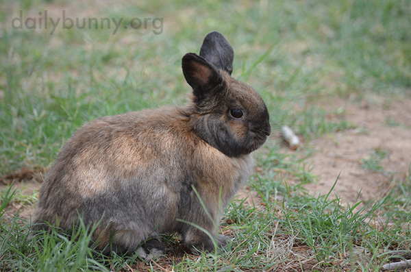 Pensive Bunny Contemplates the Grass