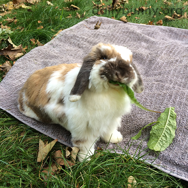 Bunny Enjoys a Tasty Green on a Picnic with Human