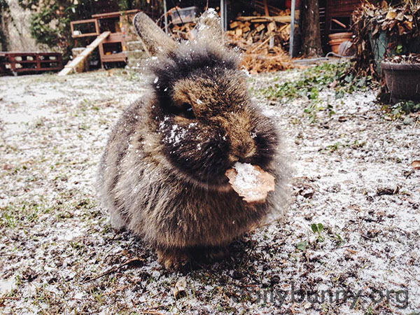 Bunny Sits in a Dusting of Snow and Tastes a Snowy Leaf 2