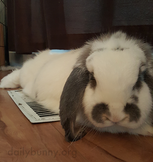 Bunny Warms Up on the Heating Vent