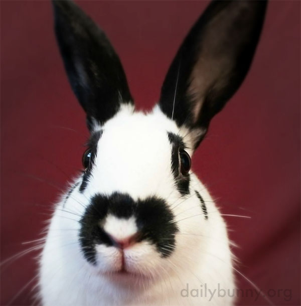 Bunnies Can Vie for the Title of Biggest Ears 2