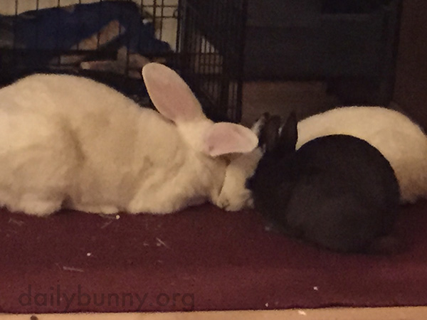 Bunnies Go In for a Three-Bun Nuzzle