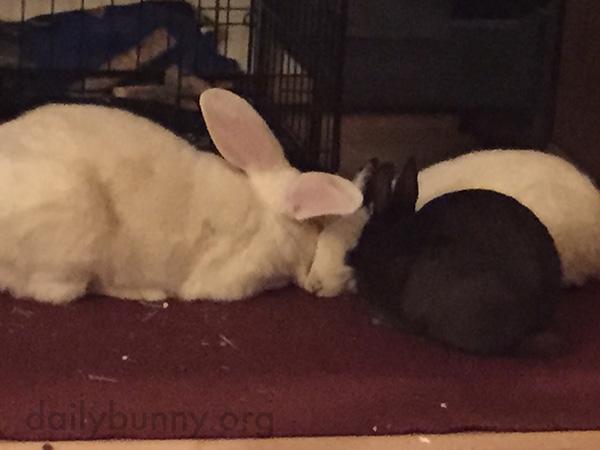 Bunnies Go In for a Three-Bun Nuzzle