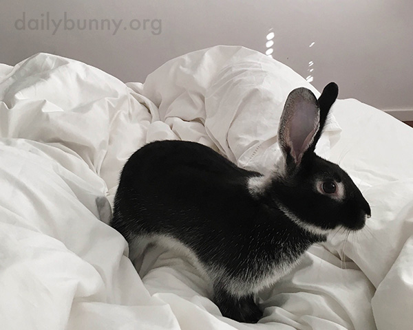 Bunny Explores the Topography of the Poofy Duvet