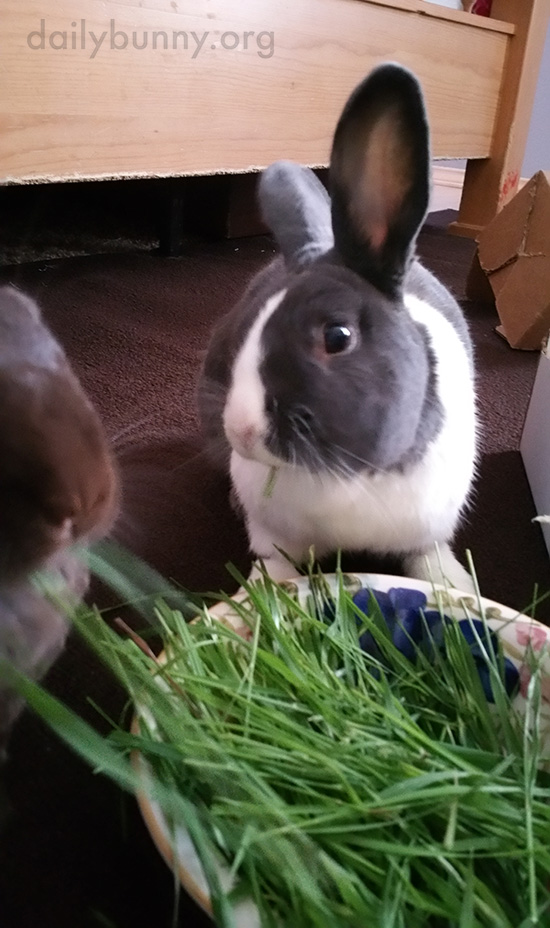 Bunnies Share a Bowl of Grass 2