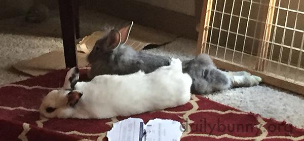 Bunnies Have Unorthodox Cuddling Styles 2