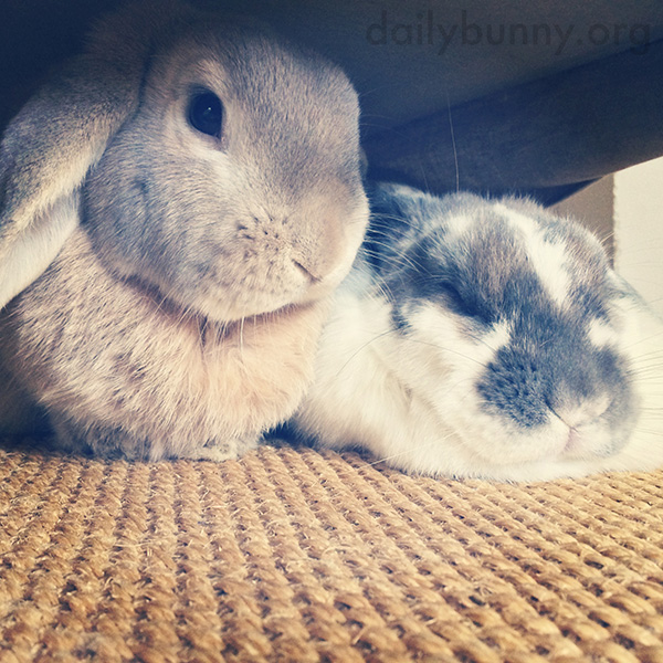 Bunnies Hunker Down for a Nap Under the Furniture