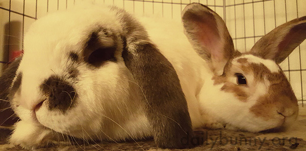 Bunnies Laze the Day Away Together