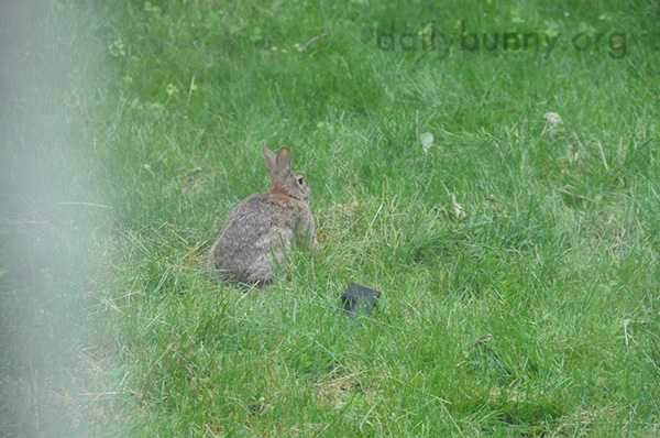 Wild Bunnies in the Daily Bunny's Backyard 1