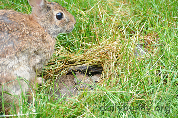 Wild Bunnies in the Daily Bunny's Backyard 2