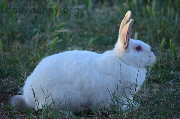 Bunny Surveys His Grassy Lands