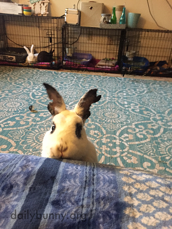 Bunny Will Stare Down Human Until Blueberries Are Shared 2