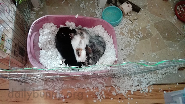 Little Bunnies Cuddle Up in Their Litter Box