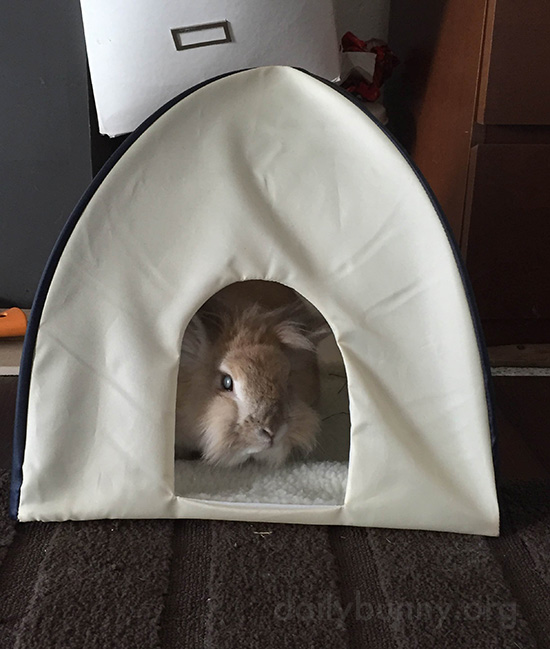 Bunny Hangs Out in His Little Tent 1
