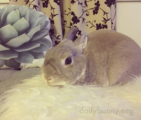 Bunny Patiently Awaits Head Scratches