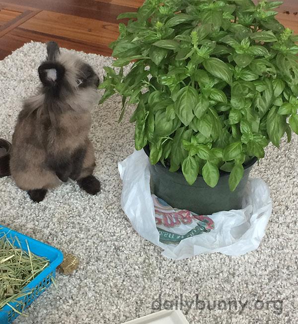 Bunny Tucks into the Enormous Basil Plant 1