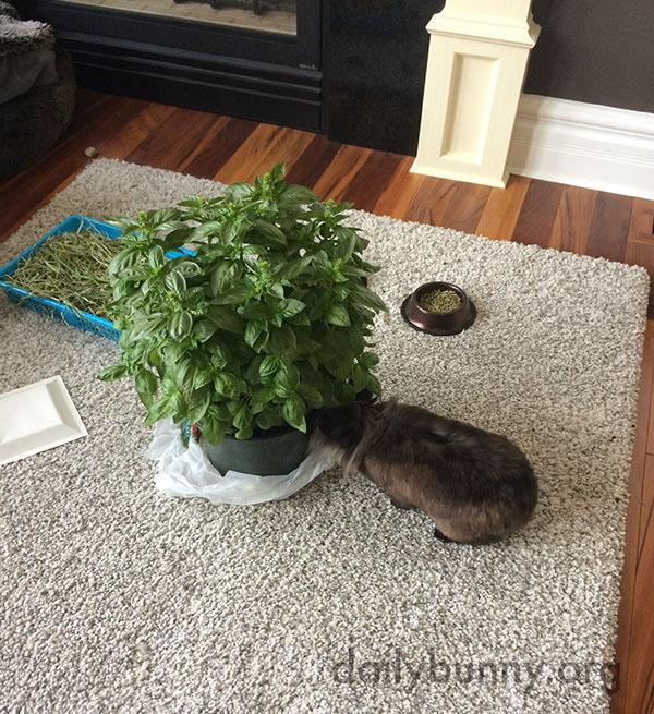 Bunny Tucks into the Enormous Basil Plant 2