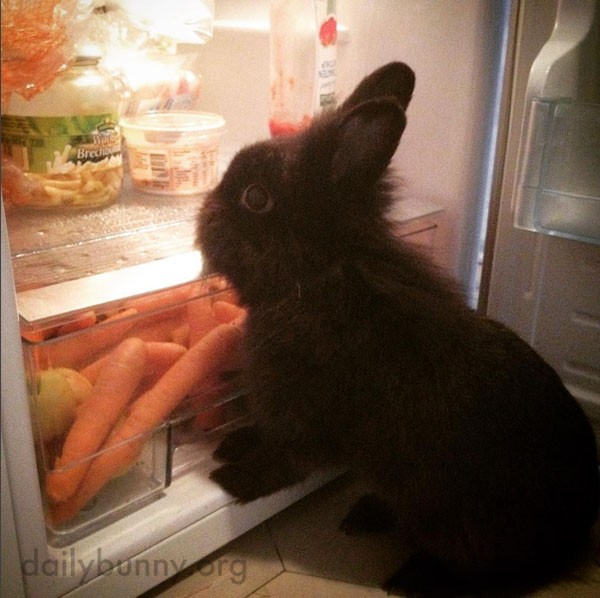 Bunny Raids the Fridge for a Snack