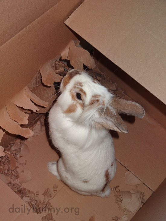 Bunny Remodels His Box Just the Way He Wants It