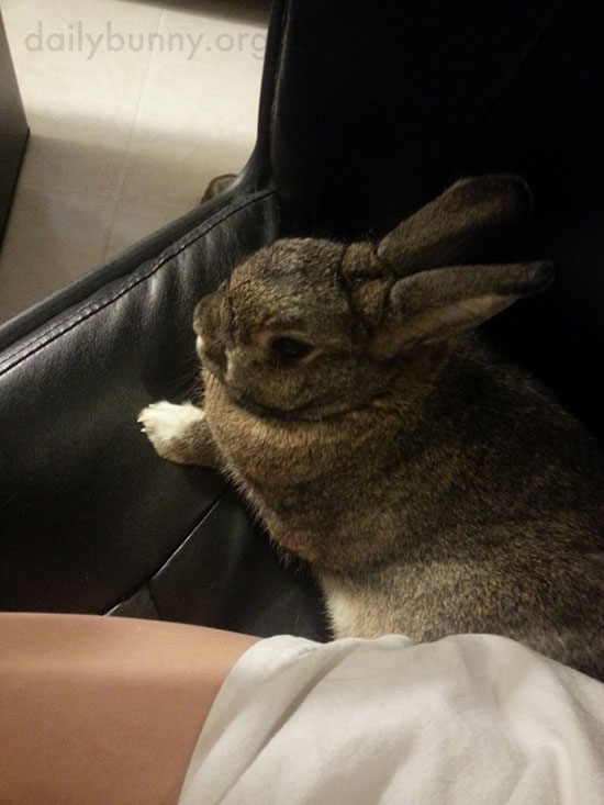 Bunny Shares the Computer Chair with His Human