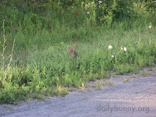 Wild Bunny Has Lots of Grass to Nibble and Hide In 2