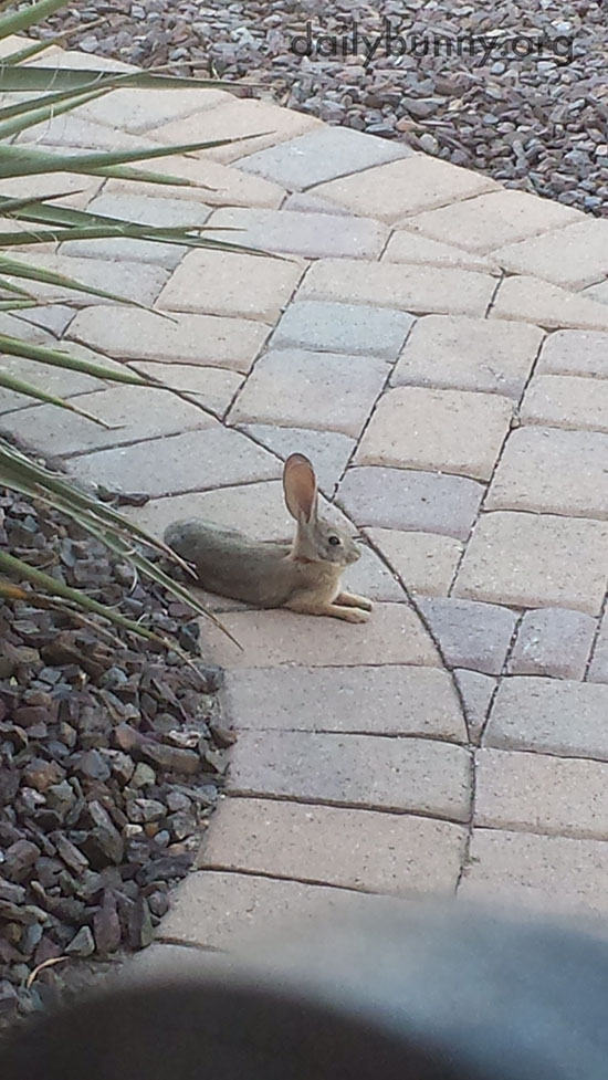 Wild Desert Bunny Has Such Big Ears