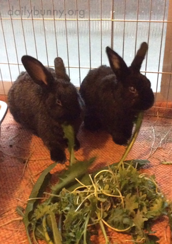 Bunnies Share a Pile of Dandelion Greens