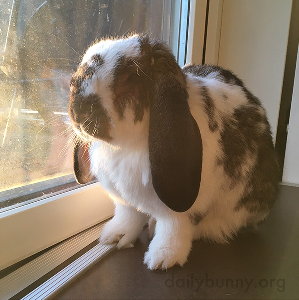 Bunny Enjoys the Sunny View out the Window