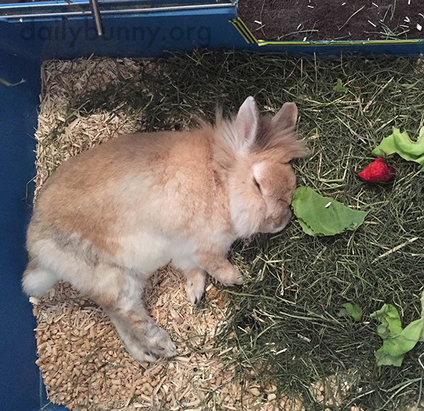 Bunny Falls Asleep Among His Food