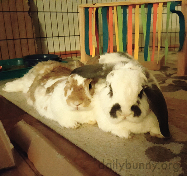 Bunny Takes Shelter Under His Friend's Ear