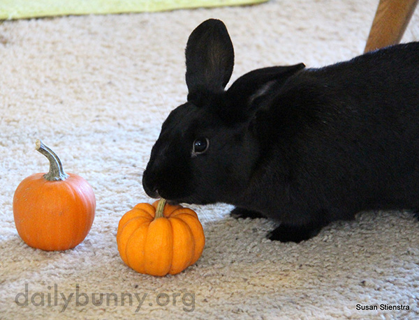 It's the Daily Bunny's Halloween 2016 Post! 3