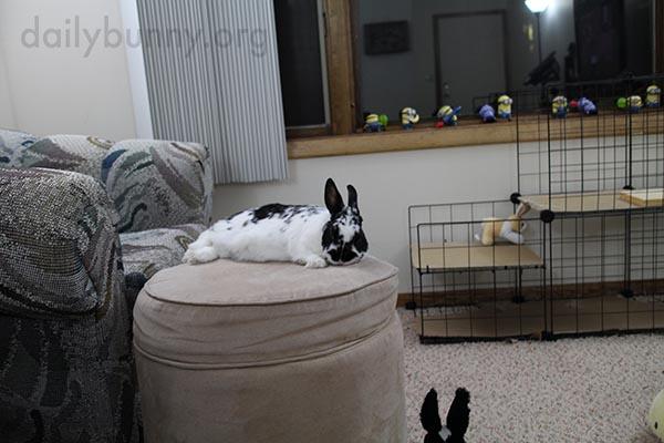 Bunny Dozes Off on the Ottoman 1