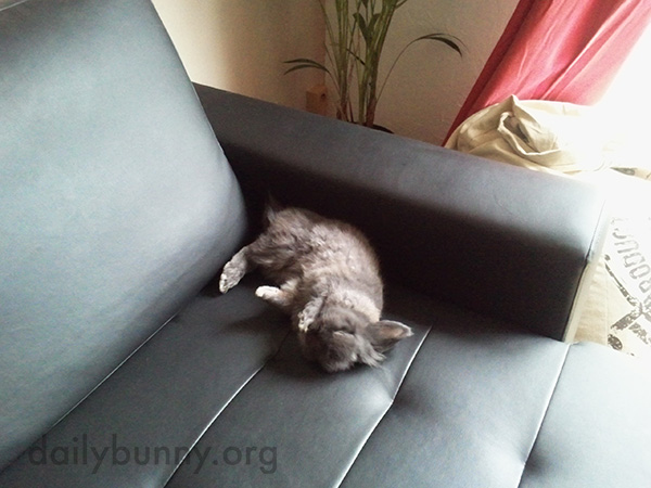 Bunny Finds a Very Floppable Spot on the Sofa 1