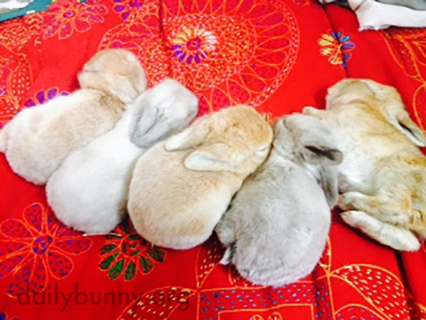 Baby Bunnies Pass Out After a Feeding