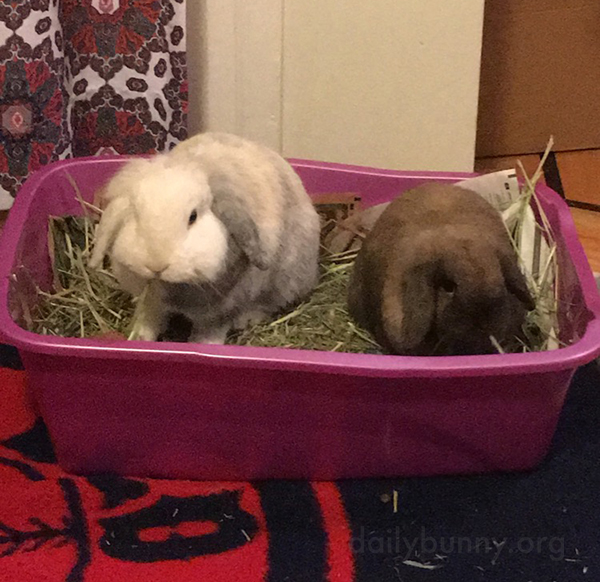 Bunnies Share the Litter Box and a Snack
