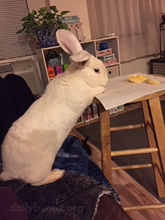 Bunny's Not Above Trying to Steal Her Human's Food