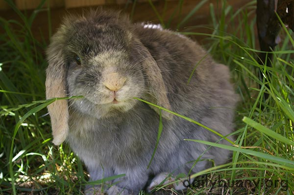 Bunny Happily Nibbles on Grass
