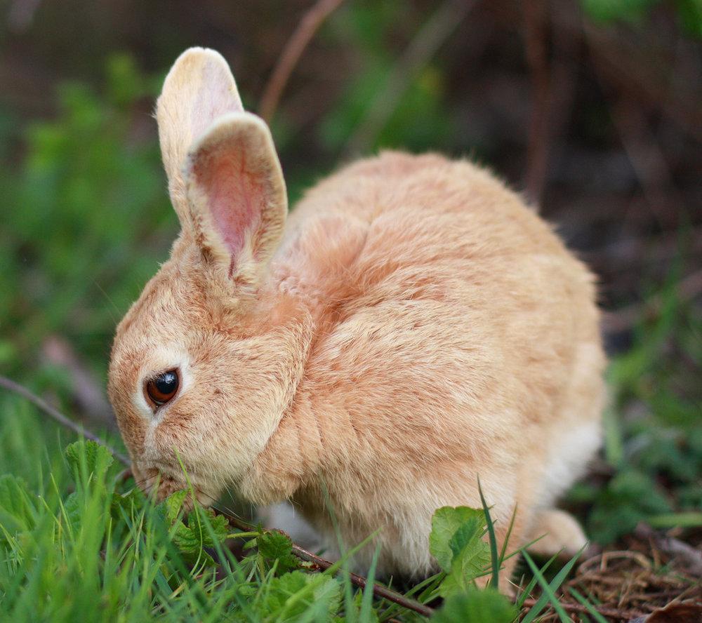 Honey-Colored Wild Bunny