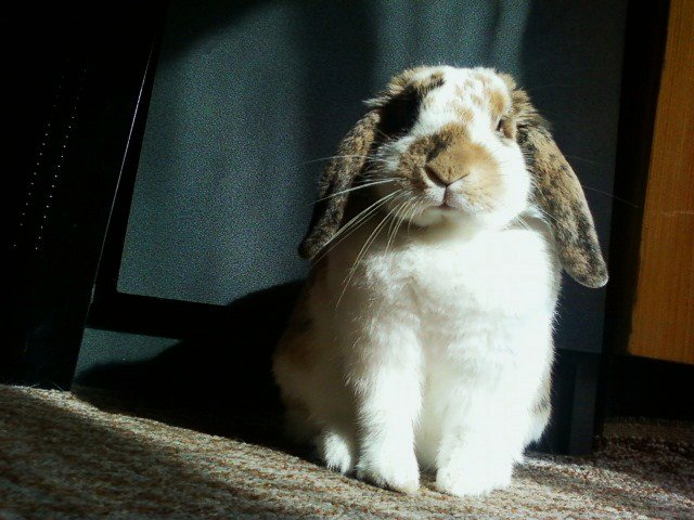 Lop Sits in Sunbeam