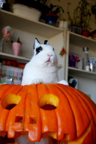 Halloween Bunny Rises from Jack O'Lantern