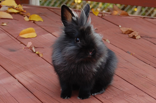 Black Lionhead Enjoys Autumn