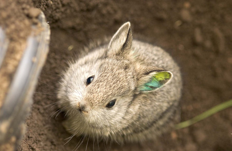 Another Pygmy Bun