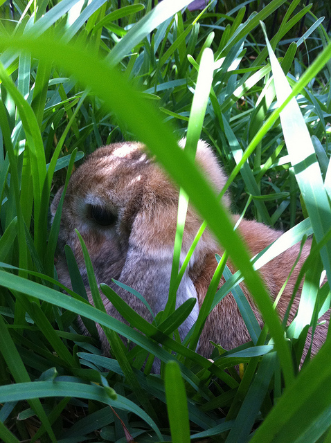 Bunny Relaxes in the Grass