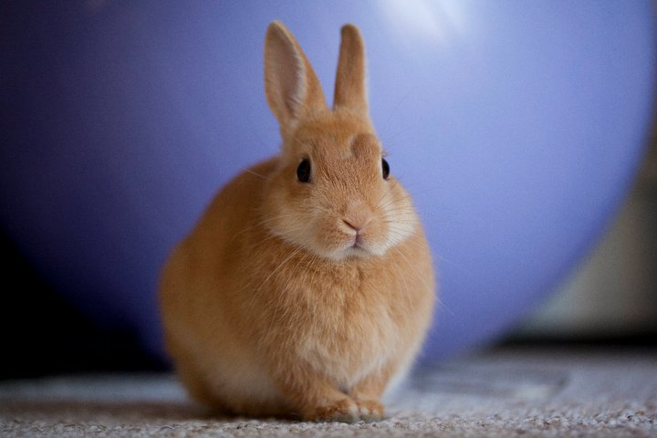 Round Orange Bunny is Round and Orange