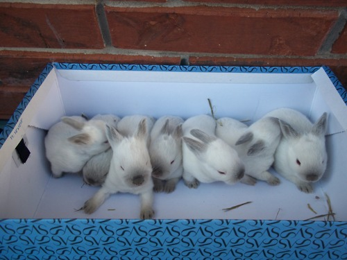 Two-Week-Old Baby Bunnies