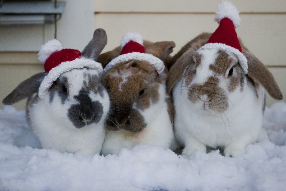 Bunnies in Santa Hats